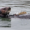 Sea Otter with tool