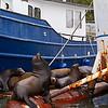 Sea lions at Elkhorn Slough