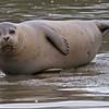 Harbor seals at Elkhor Slough