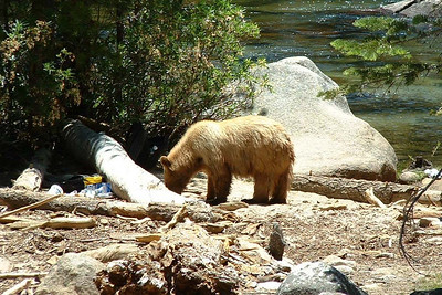 "Ref:  0307Y26 ... July 15 2003 ... Yosemite National Park California - Rich Dunhoff Memorial Trip - ""Black"" bear filching hikers backpack and shoes along Merced River between the Little Yosemite Valley campground and Nevada Falls. ... Photo owned by Tess Dunhoff and submitted as ""DSCF0050.jpg"""