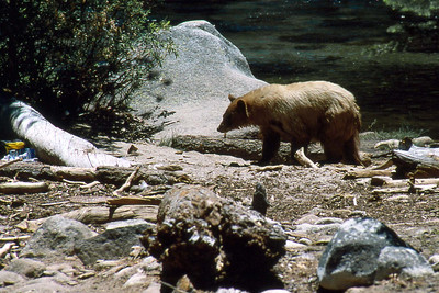 Ref: 0307K07 ... July 15 2003 ... Yosemite National Park California - Rich Dunhoff Memorial Trip - Bear in Little Yosemite Valley along Merced River munching on a backpacker's backpack and shoes ... Photographed by Robert W Page Jr