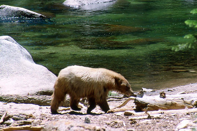 Ref: 0307K10 ... July 15 2003 ... Yosemite National Park California - Rich Dunhoff Memorial Trip - Bear in Little Yosemite Valley along Merced River munching on a backpacker's backpack and shoes. ... Photographed by Robert W Page Jr