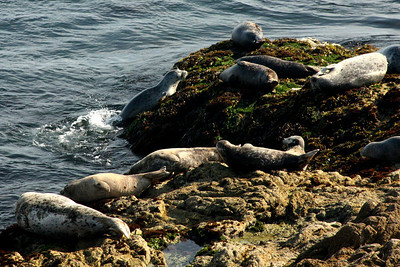 An elephant seal makes their way onto the rocks - Monterey, CA ... March 11, 2009 ... Photo by Rob Page III