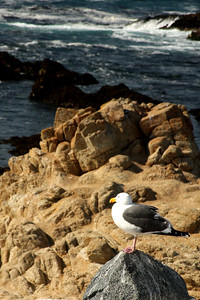 A seagull looks out at the waves and takes in the beautiful day - Monterey, CA ... March 11, 2009 ... Photo by Rob Page III