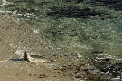 An elephant seal makes their way onto the beach at Cyprus Point Lookout - Monterey, CA ... March 11, 2009 ... Photo by Rob Page III