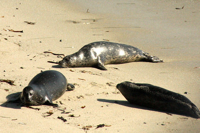 Elephant seals sun themselves at Cyprus Point Lookout - Monterey, CA ... March 11, 2009 ... Photo by Rob Page III