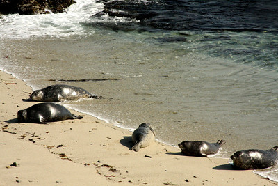 Elephant seals make their way onto the beach at Cyprus Point Lookout - Monterey, CA ... March 11, 2009 ... Photo by Rob Page III