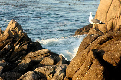 A seagull watchs the sunset - Carmel, CA ... March 11, 2009 ... Photo by Rob Page III