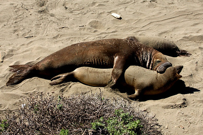 Elephants seals having a good time - San Simeon, CA ... March 10, 2009 ... Photo by Rob Page III