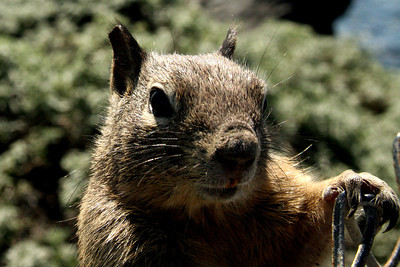 Our squirrel friend - San Simeon, CA ... March 10, 2009 ... Photo by Rob Page III