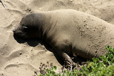 An elephant seal at Piedras Blancas - San Simeon, CA ... March 10, 2009 ... Photo by Rob Page III