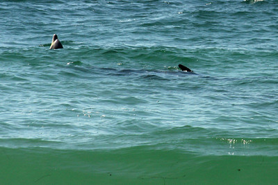 Dolphins - Laguna Beach, CA ... March 7, 2009 ... Photo by Rob Page III