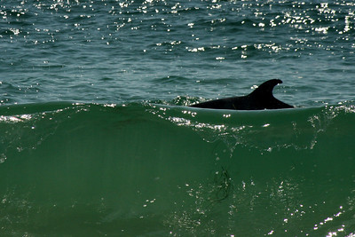 A dolphin swims along the coast - Laguna Beach, CA ... March 7, 2009 ... Photo by Rob Page III