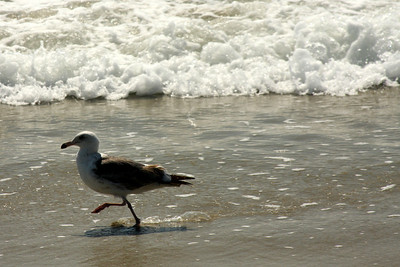 A bird enjoying the ocean - Laguna Beach, CA ... March 7, 2009 ... Photo by Rob Page III