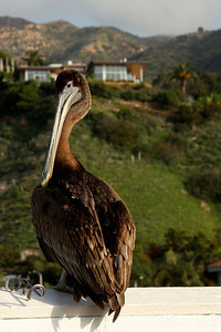 A pelican - Malibu, CA ... March 9, 2009 ... Photo by Rob Page III