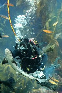Feeding sharks in the kelp forest at the Monterey Aquarium - Monterey, CA ... March 11, 2009 ... Photo by Rob Page III