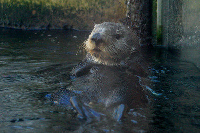 THe sea otter is hanging out at the Monterey Aquarium - Monterey, CA ... March 11, 2009 ... Photo by Rob Page III