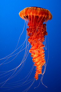 A sea nettle at the Monterey Aquarium - Monterey, CA ... March 11, 2009 ... Photo by Rob Page III