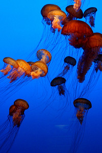 Sea nettles at the Monterey Aquarium - Monterey, CA ... March 11, 2009 ... Photo by Rob Page III