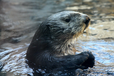 A sea otter at the Monterey Aquarium - Monterey, CA ... March 11, 2009 ... Photo by Rob Page III