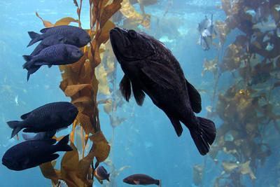 A kelp forest at the Monterey Aquarium - Monterey, CA ... March 11, 2009 ... Photo by Rob Page III
