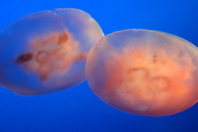 Two jellyfish at the Monterey Aquarium - Monterey, CA ... March 11, 2009 ... Photo by Rob Page III