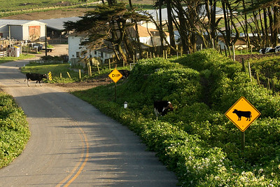 Cows actually crossing the road - Point Reyes National Seashore, CA ... March 12, 2009 ... Photo by Rob Page III