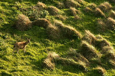 A deer grazes on the hillside - Point Reyes National Seashore, CA ... March 12, 2009 ... Photo by Rob Page III