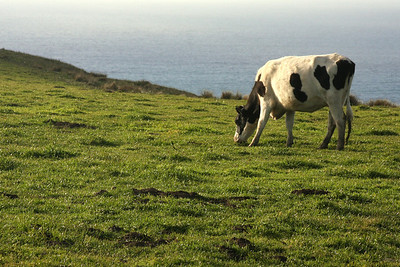 A cow grazing - Point Reyes National Seashore, CA ... March 12, 2009 ... Photo by Rob Page III