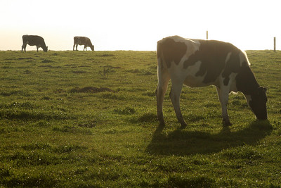Cows grazing - Point Reyes National Seashore, CA ... March 12, 2009 ... Photo by Rob Page III