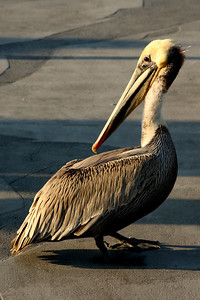 The pelican hangs out on the pier - Redondo Beach, CA ... March 7, 2009 ... Photo by Rob Page III