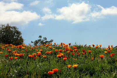 Wildflowers - Santa Barbara, CA ... March 9, 2009 ... Photo by Rob Page III
