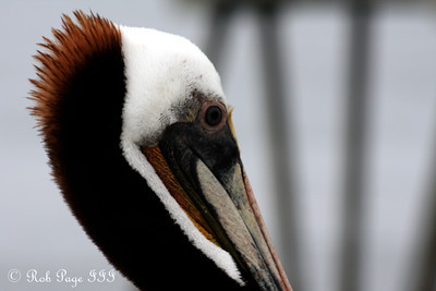 A pelican - Huntington Beach, CA ... March 15, 2012 ... Photo by Rob Page III