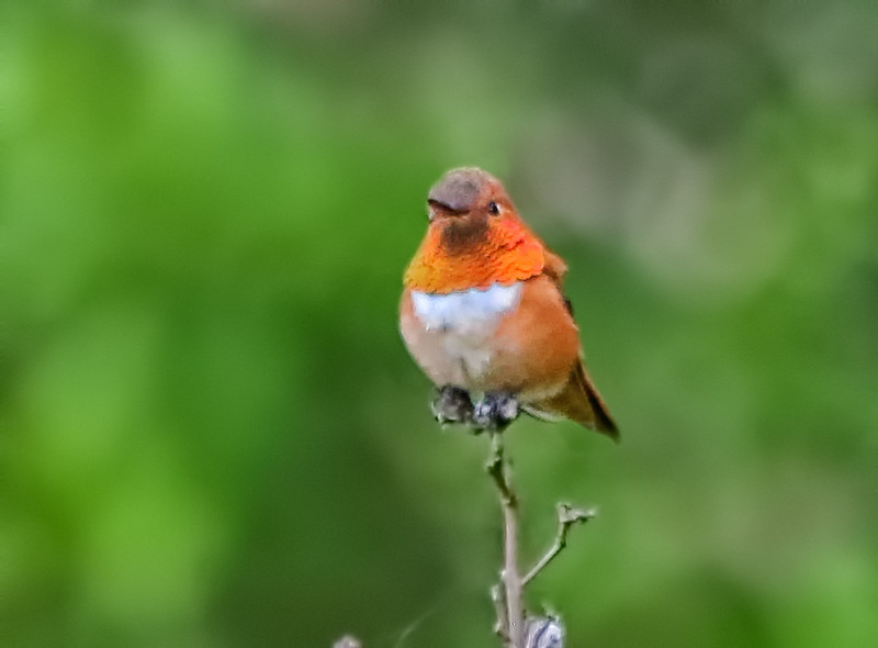 Rufous Hummingbird - Fairfield