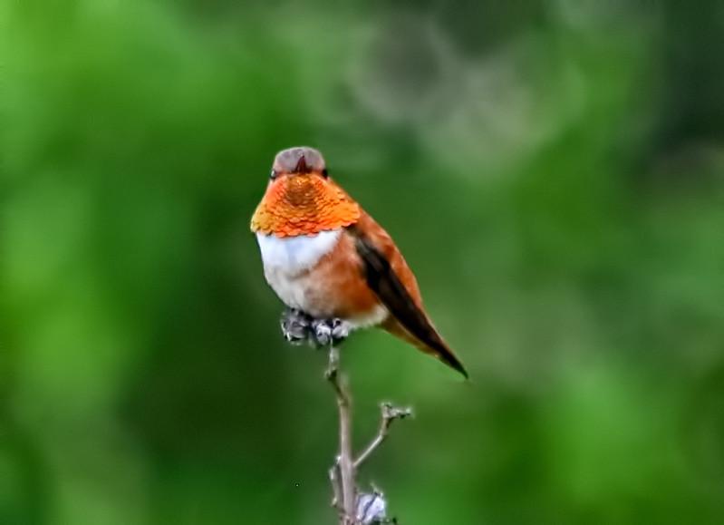 Rufous Hummingbird - Fairfield