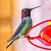 Anna's Hummingbird - Fairfield