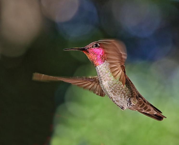 Anna's Hummingbird - Fairfield