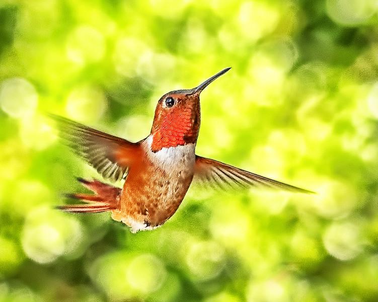 Allen's Hummingbird - Fairfield