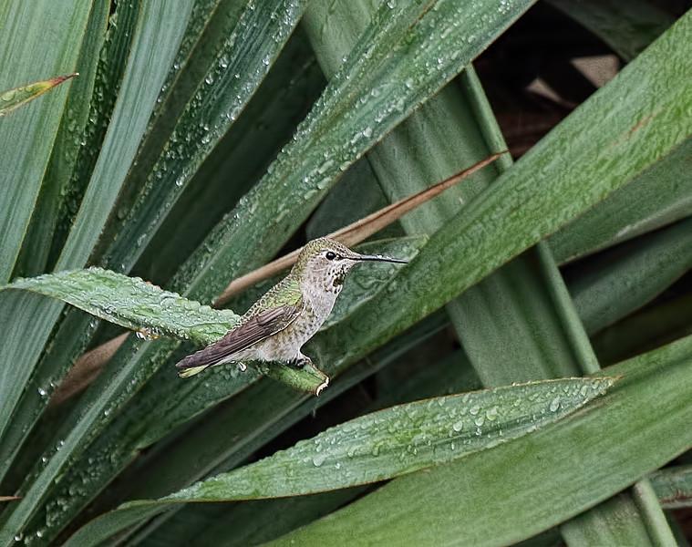 Anna's Hummingbird-Female