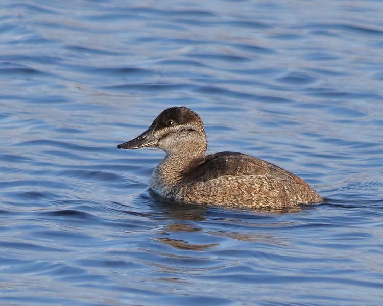 Ruddy Duck - Female