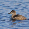 Ruddy Duck - Female