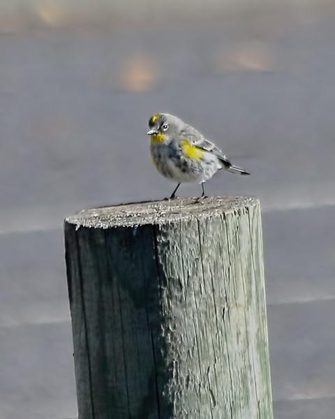 Yellow-rumped Warbler - Audubons