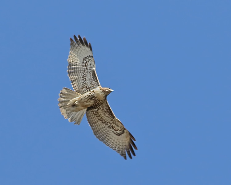 Red-tailed Hawk-Western Light Juvenile