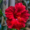 Chinese Hibiscus_Rosa-Sinensis