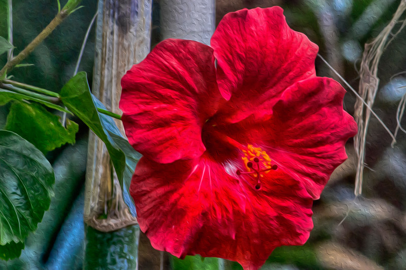 Chinese Hibiscus; Rosa-Sinensis