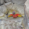 Lorikeet - Aquarium of the Pacific - Long Beach