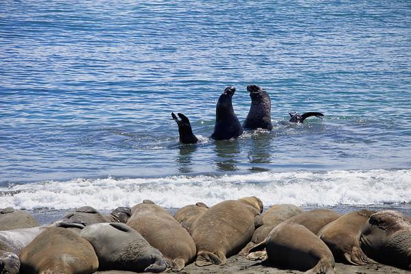 Elephant seals at San Simeon