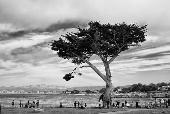 Monterey Pine in Monterey