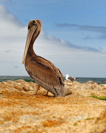 Pelican on shoreline