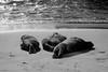 La Jolla, Beach - Three sea lions sleeping on sand in black and white